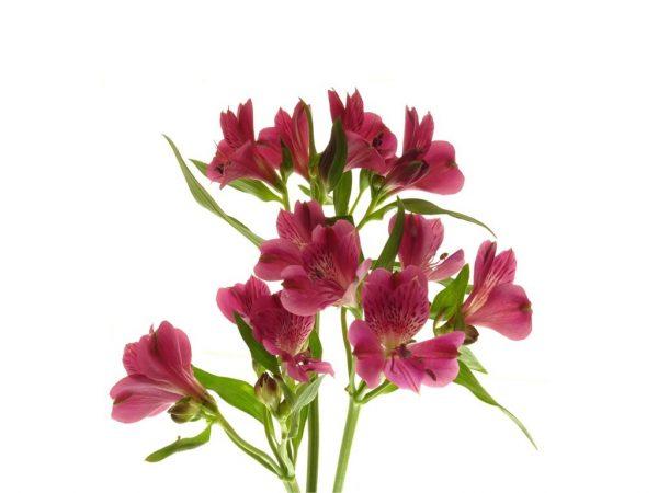 Alstroméria rose