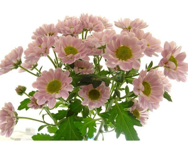 Variété de santini rose